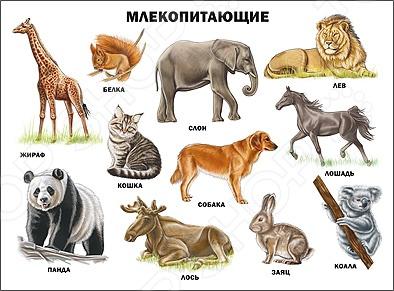 Млекопитающие. ПлакатДемонстрационные материалы<br>Вашему вниманию представлен иллюстрированный плакат Млекопитающие . Этот плакат познакомит детей с жирафом, белкой, кошкой, слоном и другими удивительными животными класса млекопитающие. Великолепные яркие фотографии обязательно заинтересуют ребят.<br>
