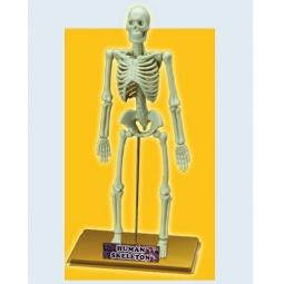 Купить Наглядное пособие Eastcolight «Скелет человека»