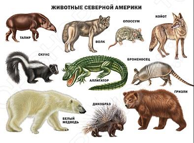 Вашему вниманию представлен иллюстрированный плакат Животные Южной Америки . Этот плакат познакомит детей с ягуаром, анакондой, пеликаном и другими удивительными животными Южной Америки. Великолепные яркие фотографии обязательно заинтересуют ребят.