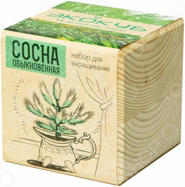 Набор для выращивания Экокуб «Сосна» набор с семенами для выращивания лаванда